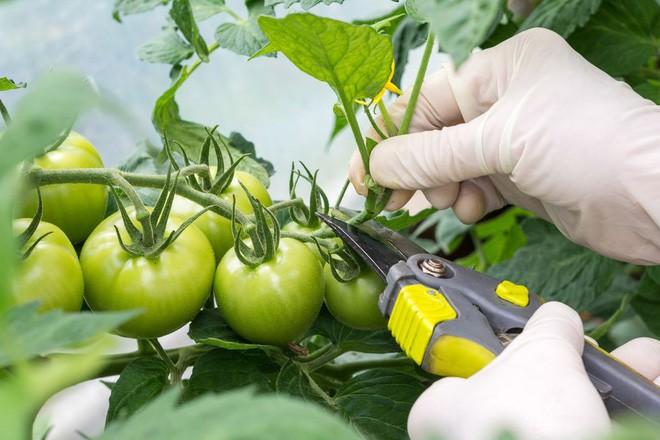 Hướng dẫn cách trồng cà chua lớn nhanh như thổi, thu hoạch mỏi tay trong mùa hè - Ảnh 5.