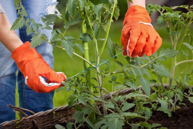 Hướng dẫn cách trồng cà chua lớn nhanh như thổi, thu hoạch mỏi tay trong mùa hè - Ảnh 4.